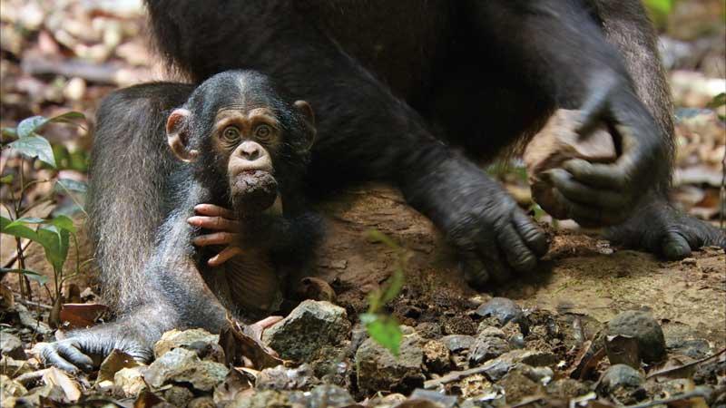 Disneynature-Schimpansen1