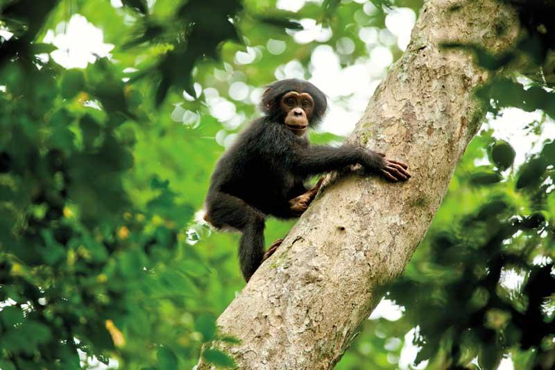 Disneynature-Schimpansen3