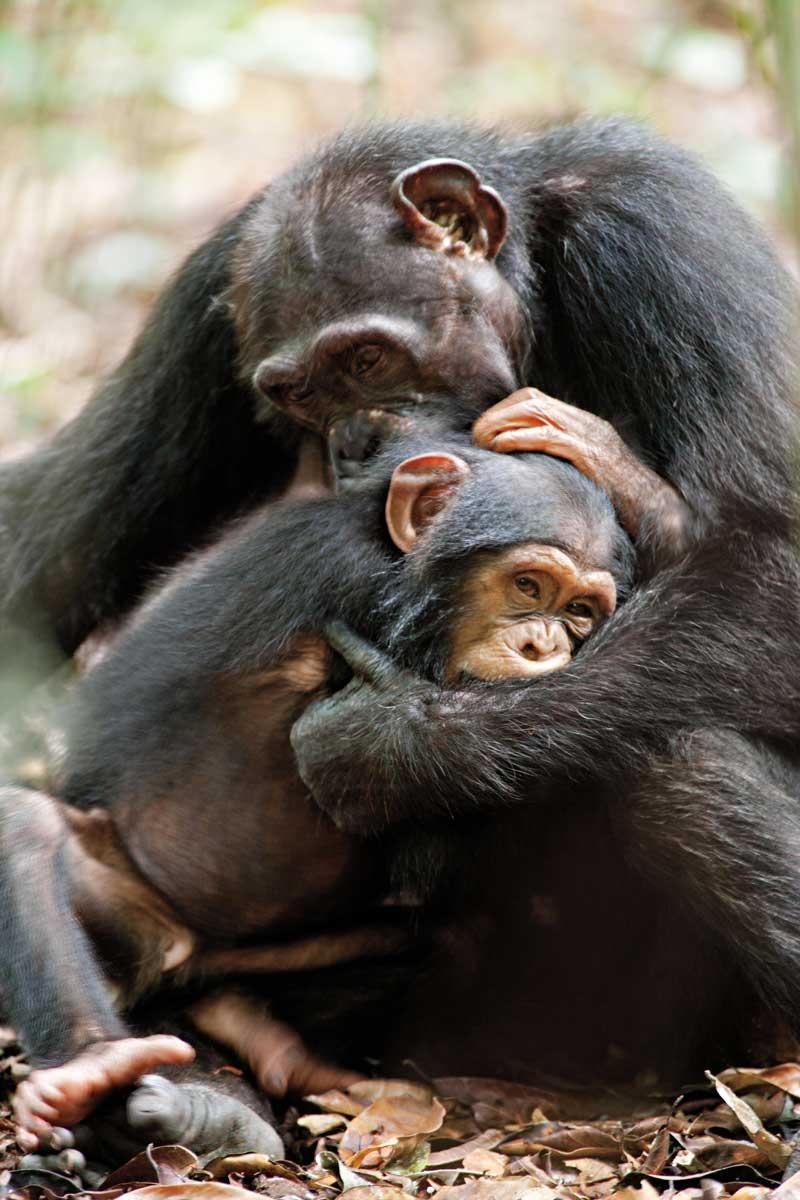 Disneynature-Schimpansen4