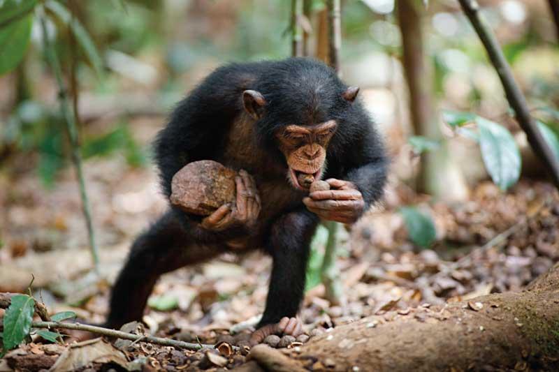 Disneynature-Schimpansen5