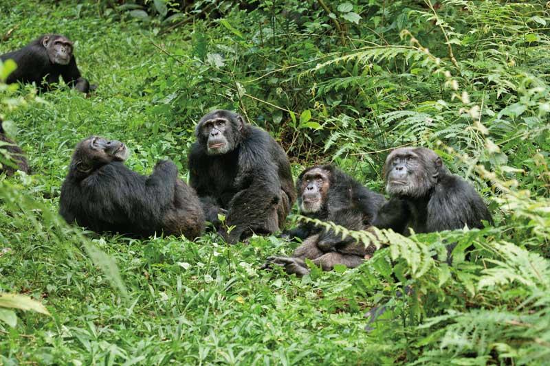 Disneynature-Schimpansen7