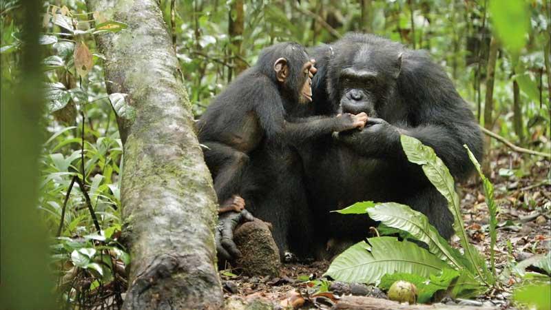 Disneynature-Schimpansen8