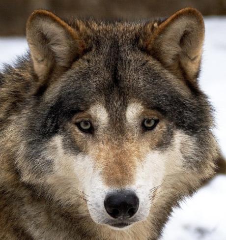 der-wolf-ein-scheues-wildtier