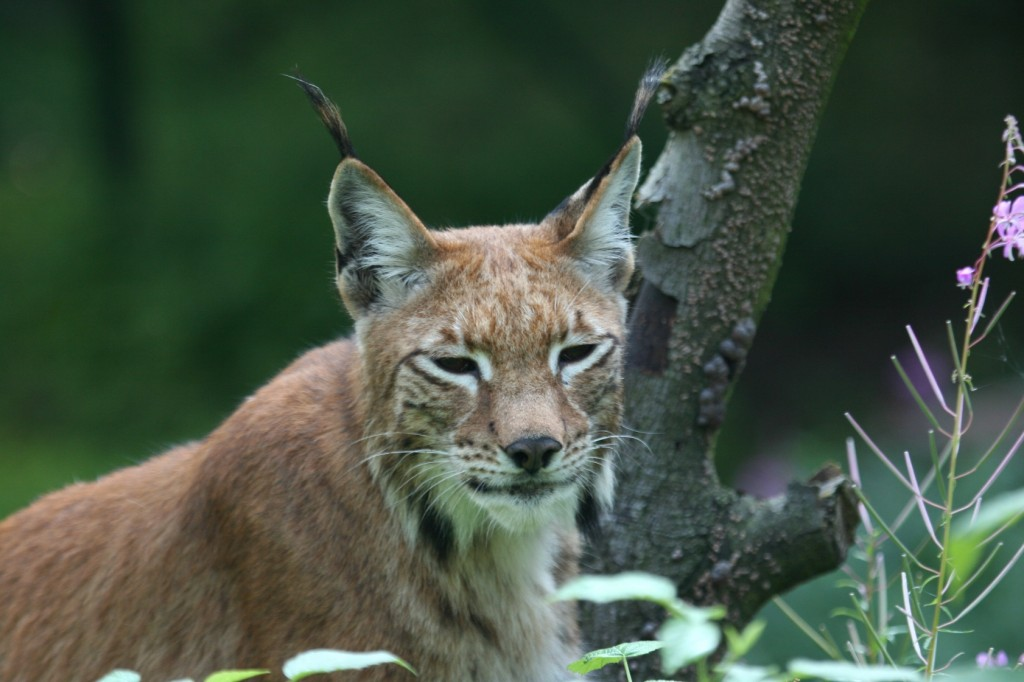 Luchs im Nationalpark Harz