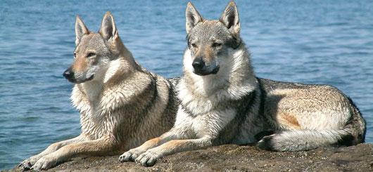 Tschechoslowakischer-Wolfhund