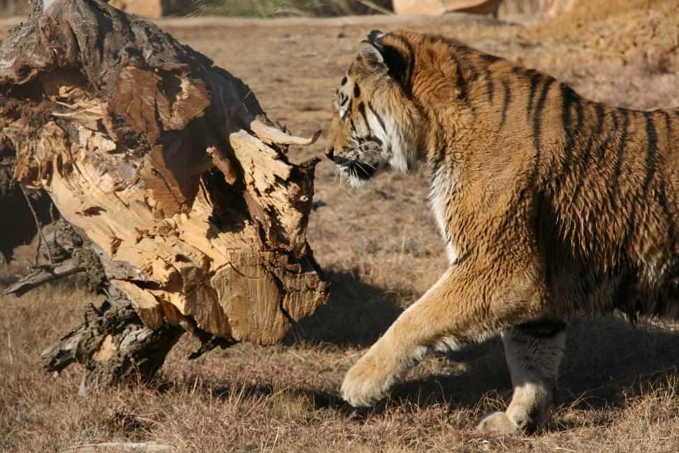 Die neugierigen Tiger erkunden ihr neues grosses Gehege (C) VIER PFOTEN, Hildegard Pirker