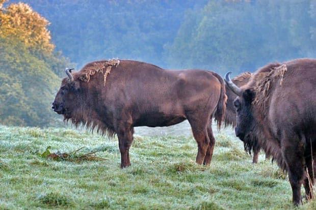 Wisente-im-Eiszeitichen-Wildgehege_c_NeanderthalMuseum__F_BSchnell
