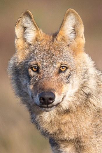 nabu-wolf-350x525