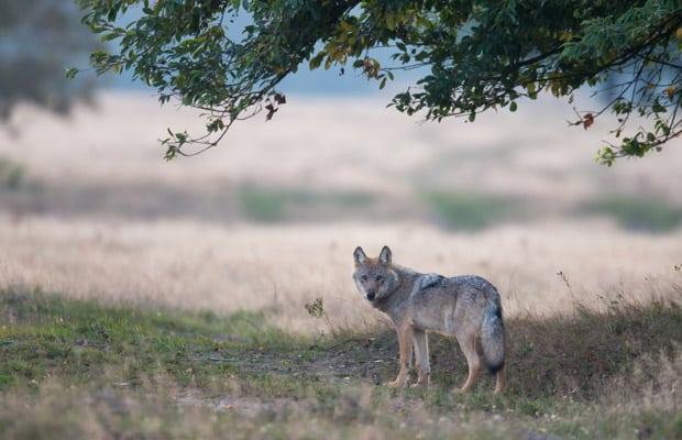 nabu-wolf-juergen-borris620x400