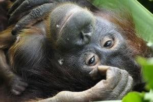 Orang-Utan Mama Signe mit ihrem neugeborenen Baby © VIER-PFOTEN